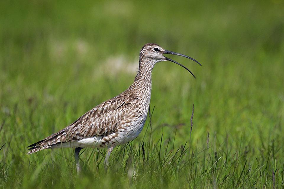 L'observation des oiseaux , Courlis corlieu , Islande