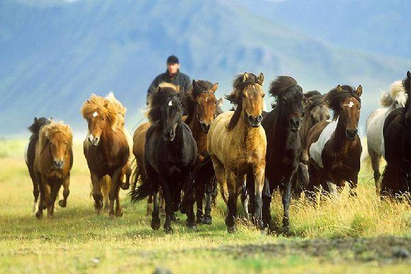 Equitation , Islande