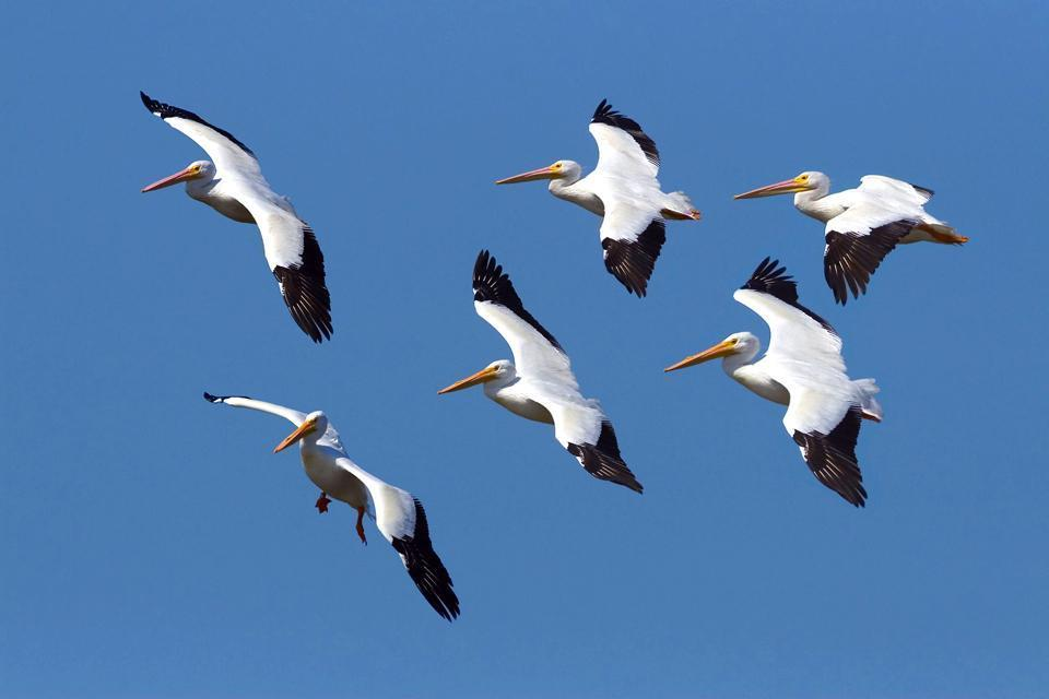 Sanibel and Captiva , A pod of pelicans, Florida , United States of America