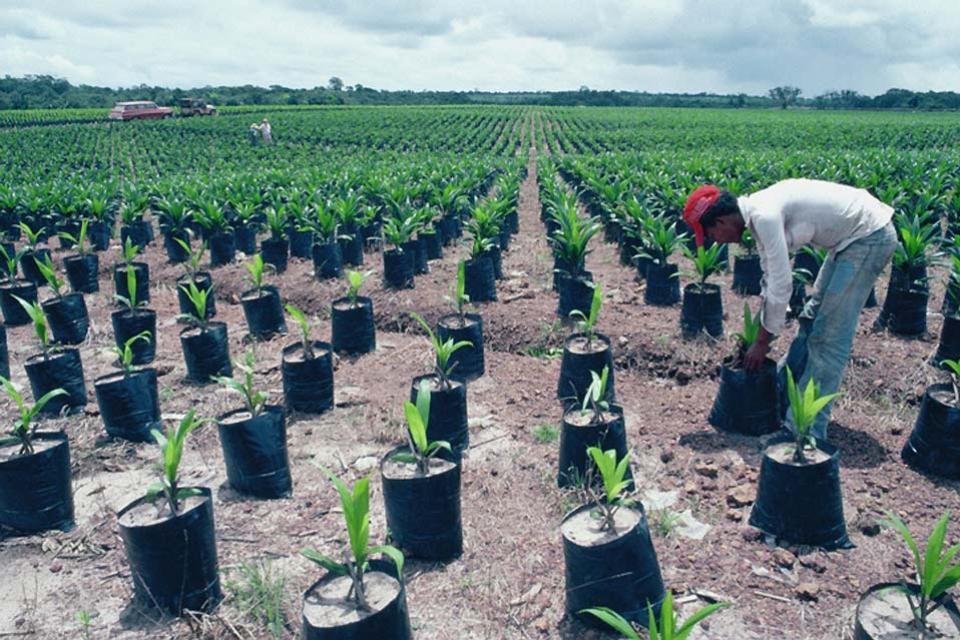Les spécialités à l'huile de palme , Une plantation , Brésil