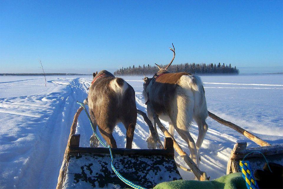 Schlittenfahrten , Das Rentier, ein geländefestes Zugtier , Finnland