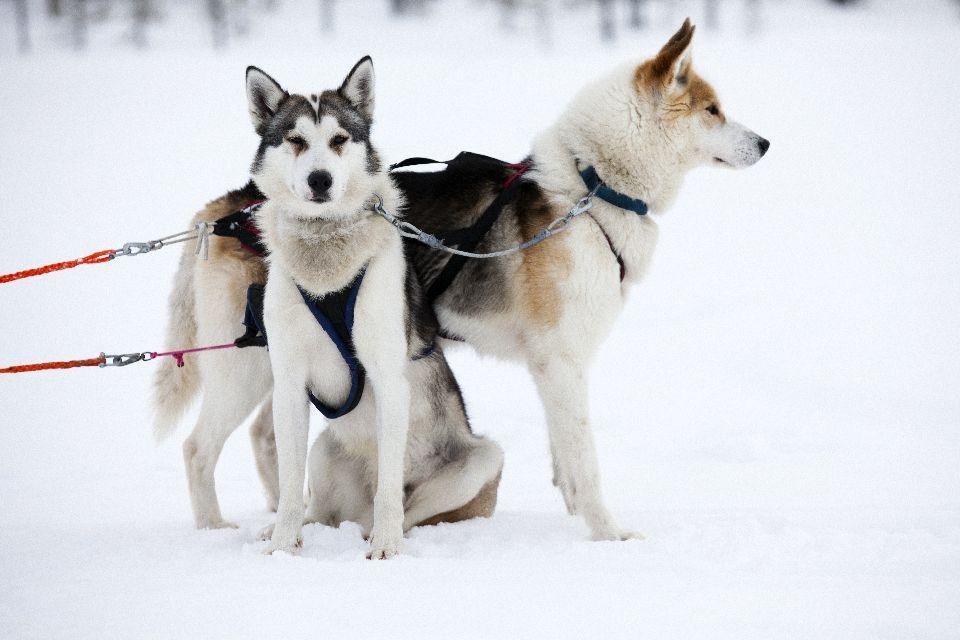 Schlittenfahrten , Der Husky, ein ganz besonderer Hund , Finnland