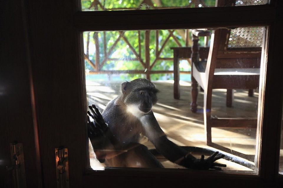 Los hoteles , Los pequeños monos de los parques , Kenia