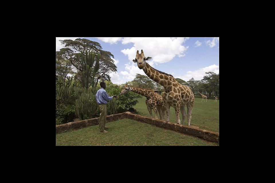The Giraffe Centre , I dolciumi delle giraffe , Kenya