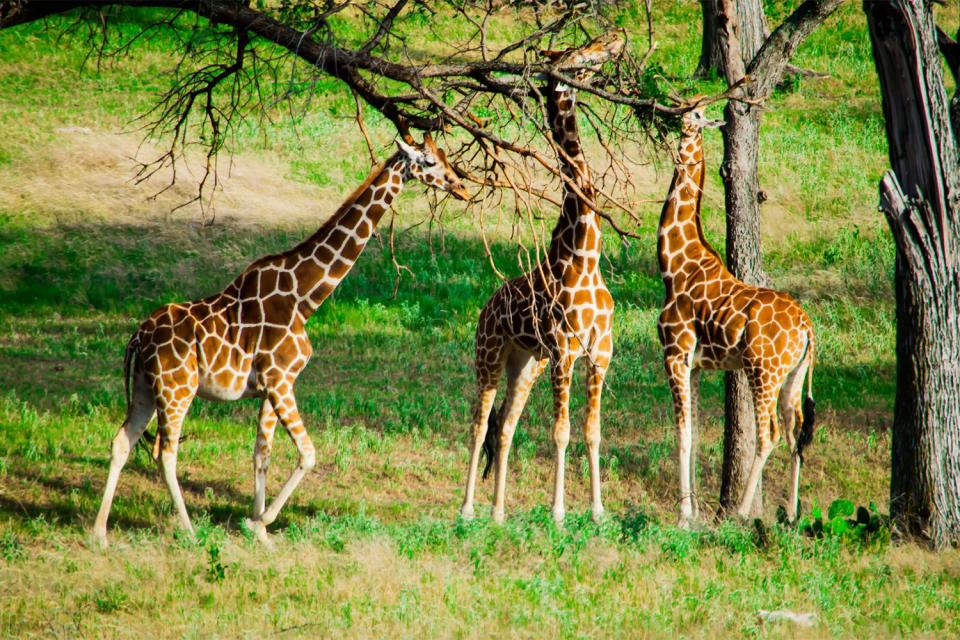 The Giraffe Centre , Rothschild giraffes , Kenya