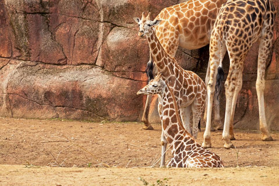 The Giraffe Centre , Una specie a rischio di estinzione , Kenya