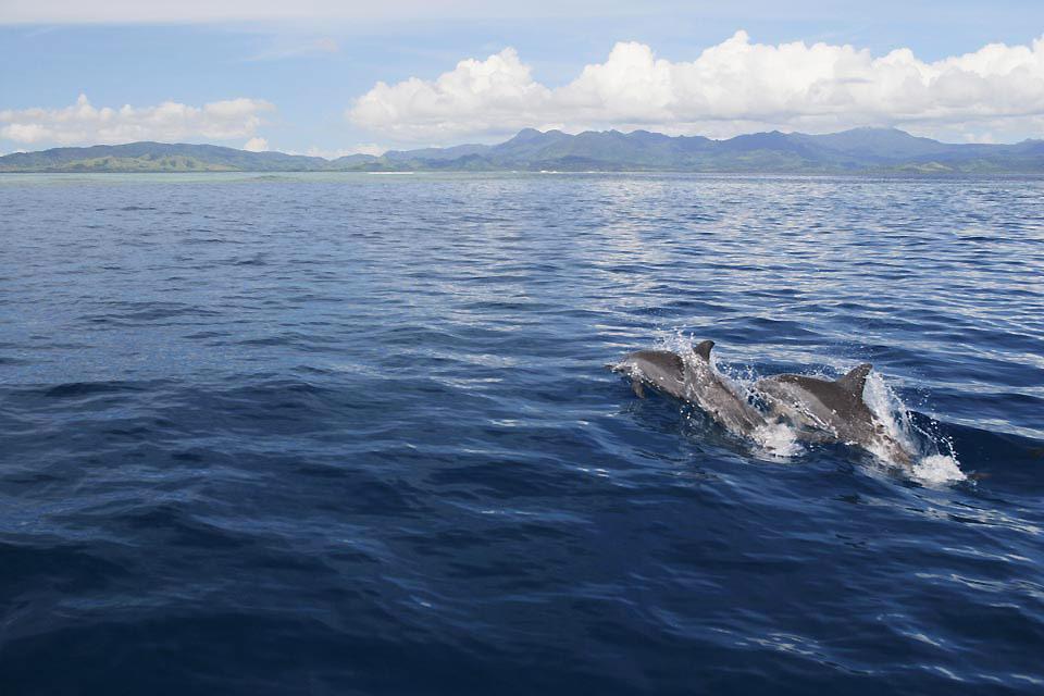 Vanua Levu Island , Dolphins in Fiji , Fiji