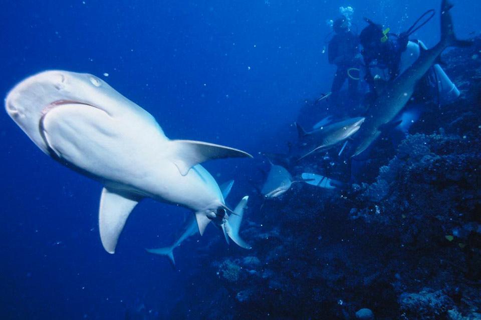 La plongée , Plongée avec les requins, Fidji , Fidji