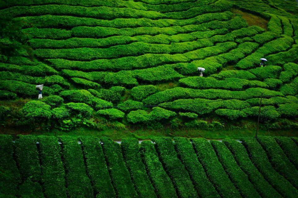 Las plantaciones de té, El arte del té, Arte y cultura, Taiwan