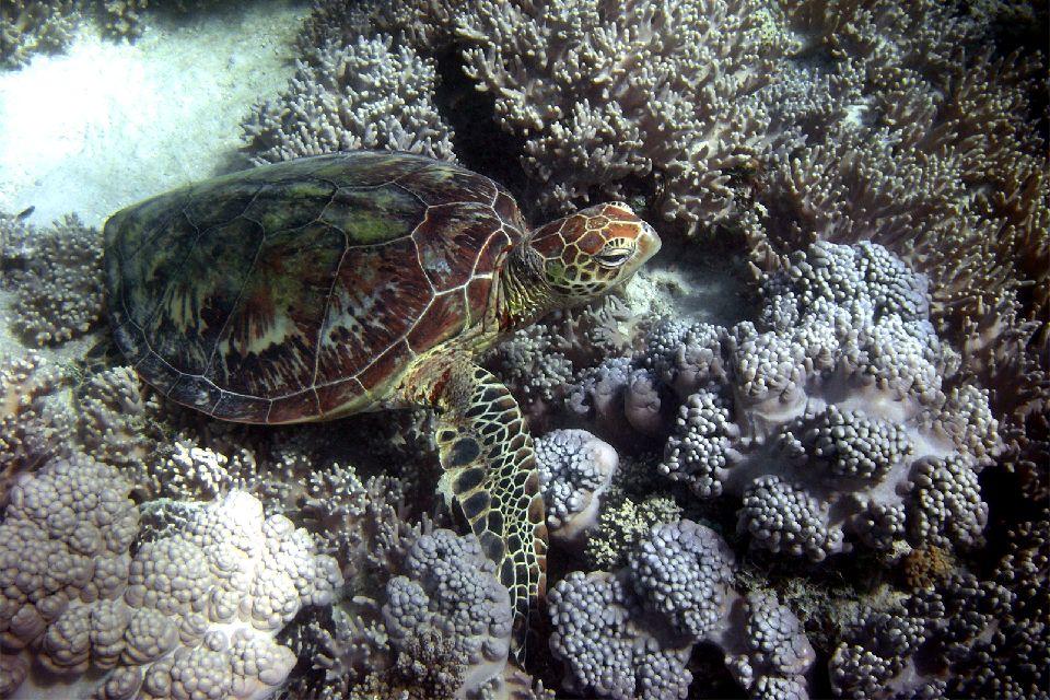 Le Parc Marin de la grande Baie Australienne , Les tortues de mer , Australie