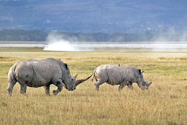 The Rift Valley Lakes , A pair of rhinos , Kenya
