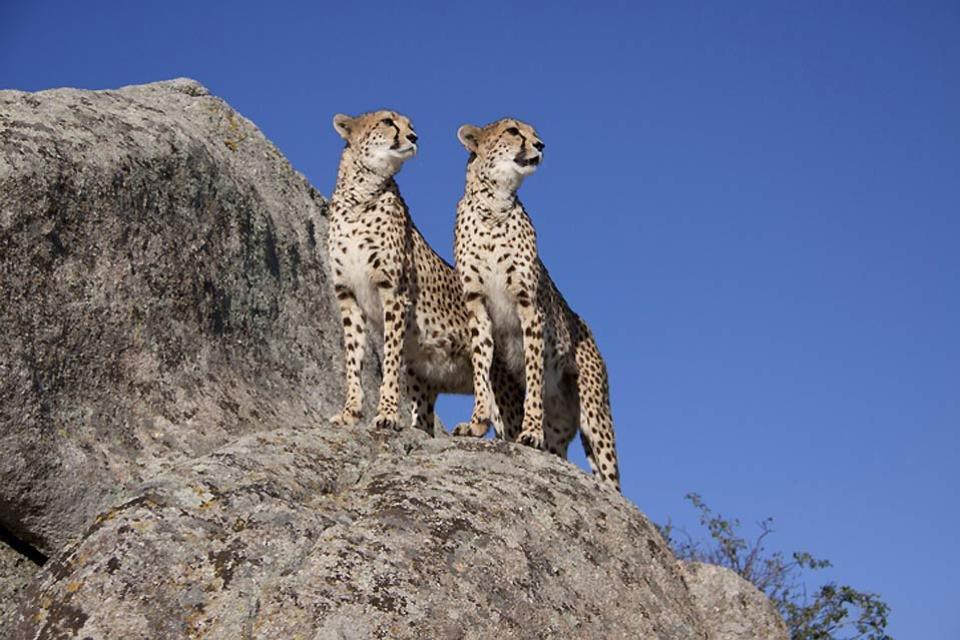 Meru and Samburu Reserves and Mount Kenya National Park , Cheetahs in Meru National Park , Kenya
