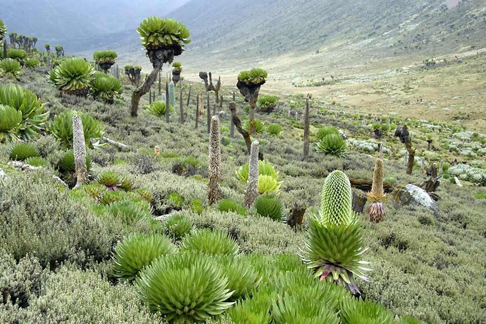 Meru and Samburu Reserves and Mount Kenya National Park , Mount Kenya National Park's magnificent flora , Kenya