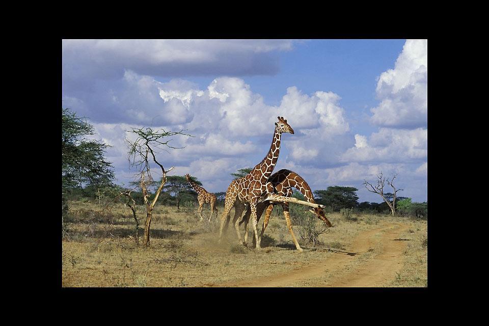 Meru and Samburu Reserves and Mount Kenya National Park , Playful giraffes , Kenya
