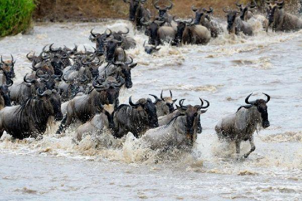 The Masai Mara Reserve , The Great Migration , Kenya