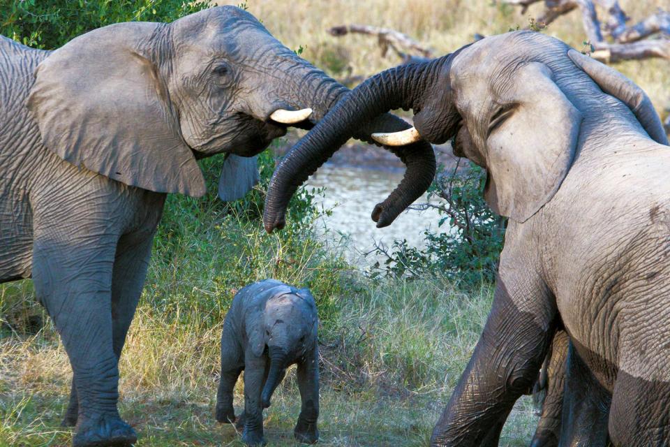 The Masai Mara Reserve , The elephants of the Maasai Mara , Kenya