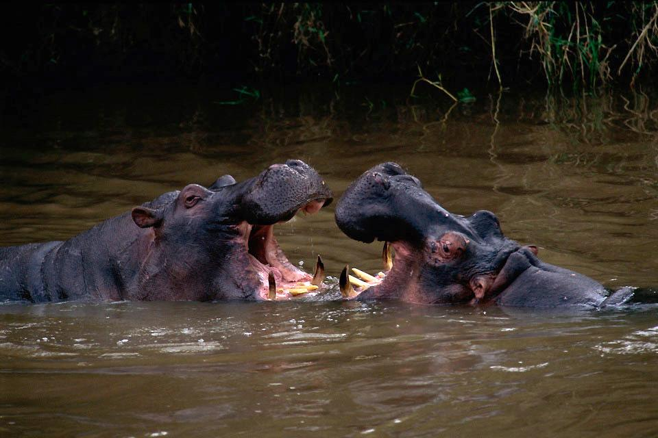 The Masai Mara Reserve , Kenya's hippopotamuses , Kenya