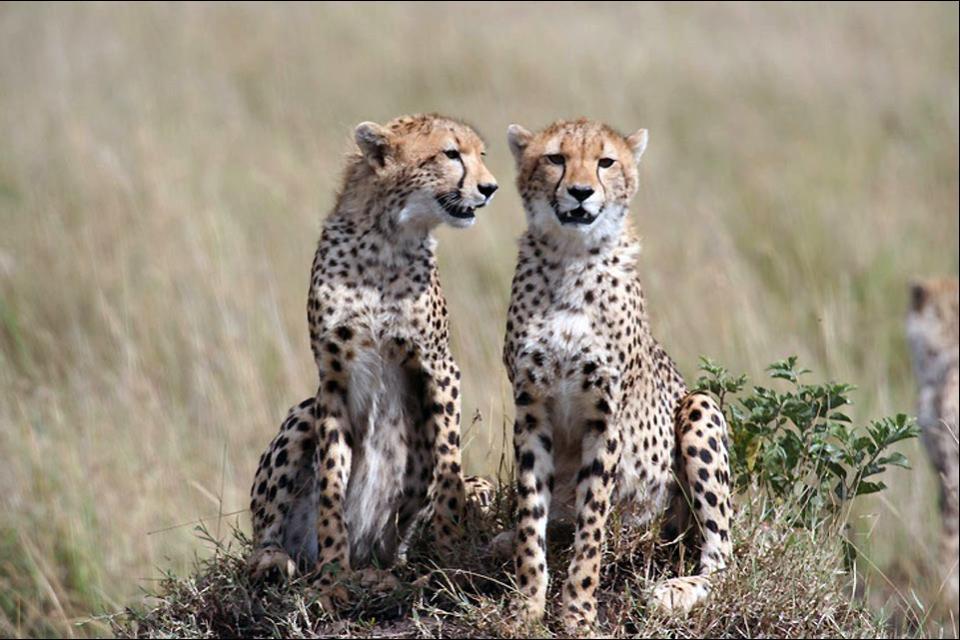 The Masai Mara Reserve , Cheetahs , Kenya