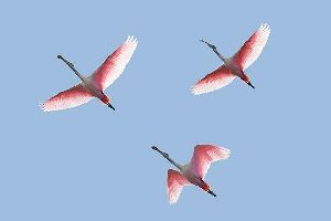 Biscayne National Park , Pink flamingoes in the Everglades Park , United States of America