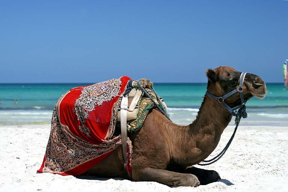 Djerba island , A camel in Djerba , Tunisia