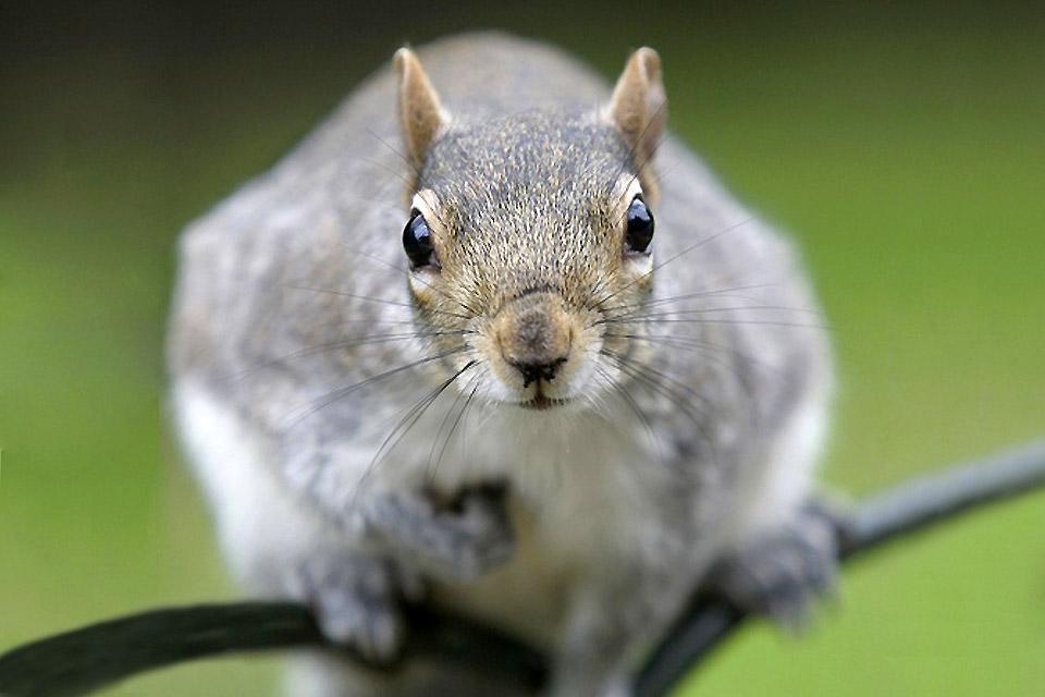 Saint-James Park, zoo londonien à ciel ouvert , Gros plan d'un écureuil gris , Royaume-Uni