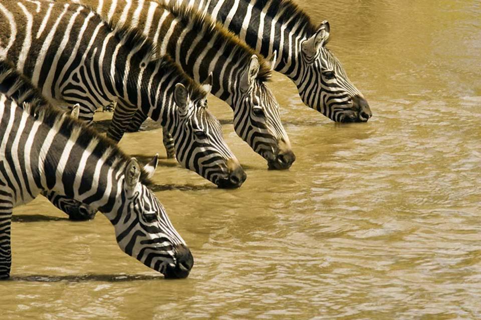 Meru National Park , Zebras drinking in Meru National Park , Kenya