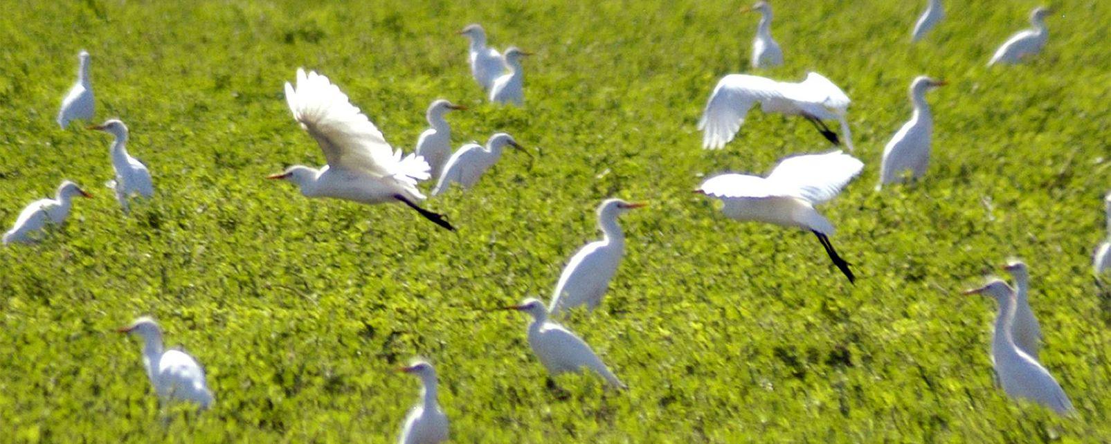 La faune et la flore, aigrette, Andalousie, espagne, europe, faune, oiseau, animal, baie, cadix, échassier