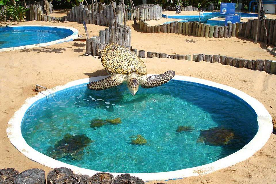 Le projet Tamar de Praia do Forte , Tortue en action , Brésil