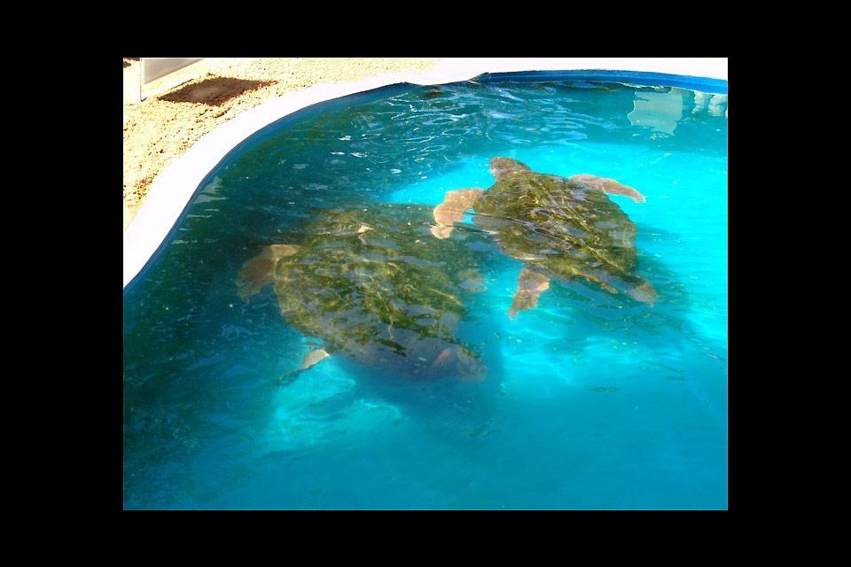 The Tamar Project, Praia do Forte , Turtles in a pool , Brazil