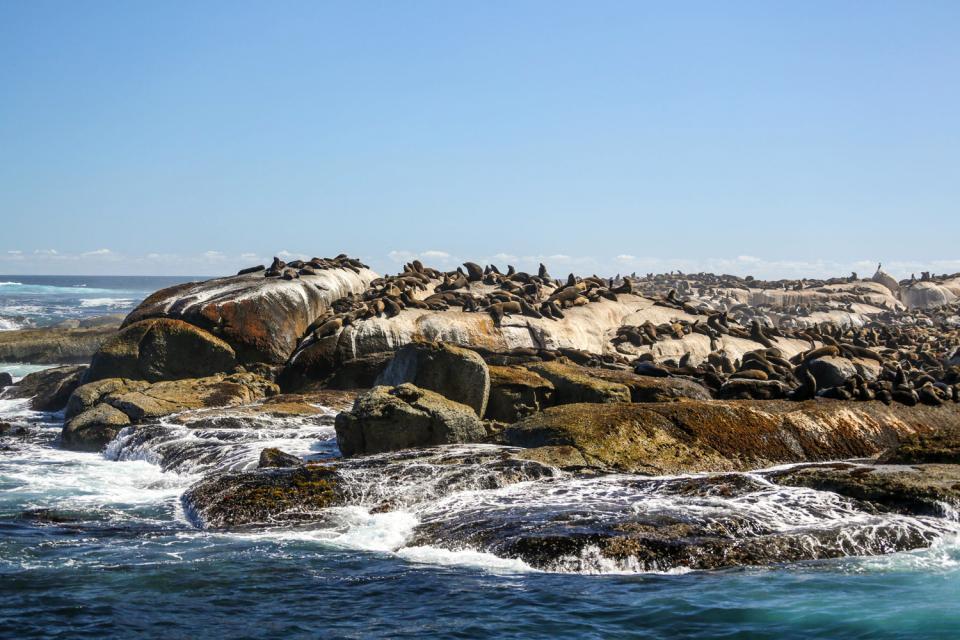 Le foche , L'isola delle foche , Sudafrica