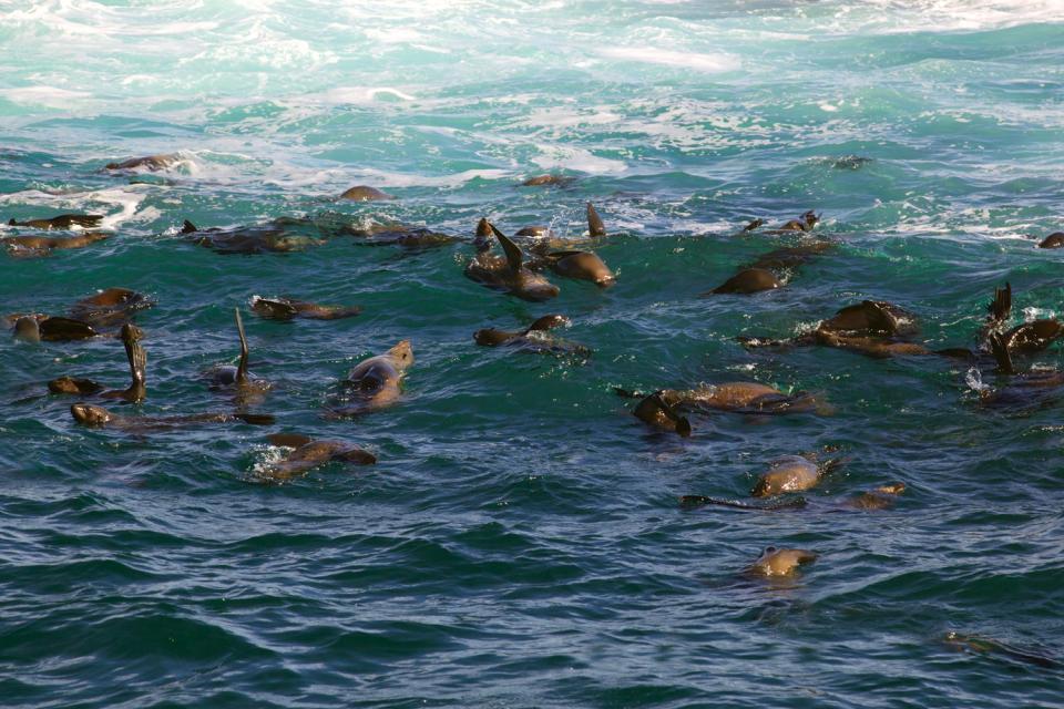 Les phoques , Migration des phoques , Afrique du Sud