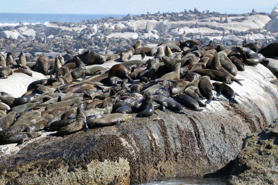 Les phoques , Menace et danger chez les phoques , Afrique du Sud