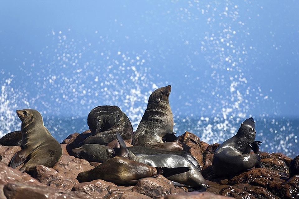 Les phoques , Longévité du phoque , Afrique du Sud