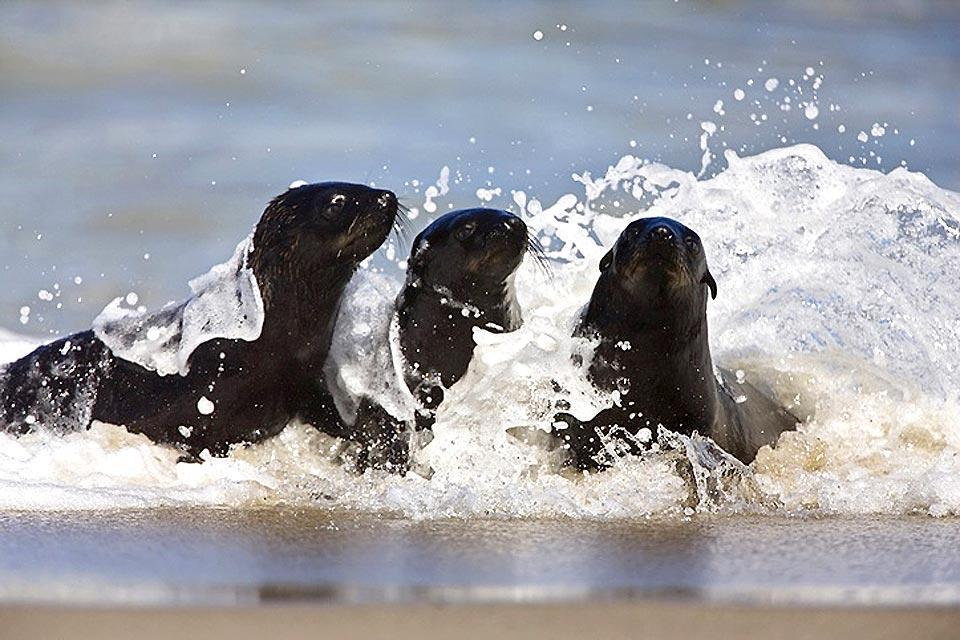 Les phoques , Déplacement du phoque , Afrique du Sud