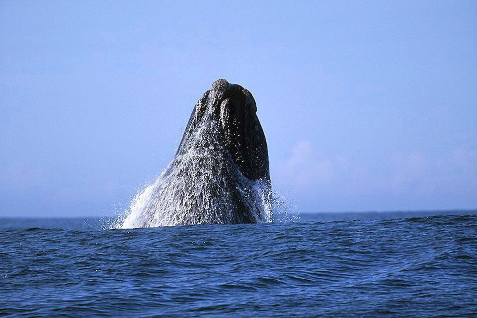 Le balene , La balena: l'animale più imponente del mondo , Sudafrica