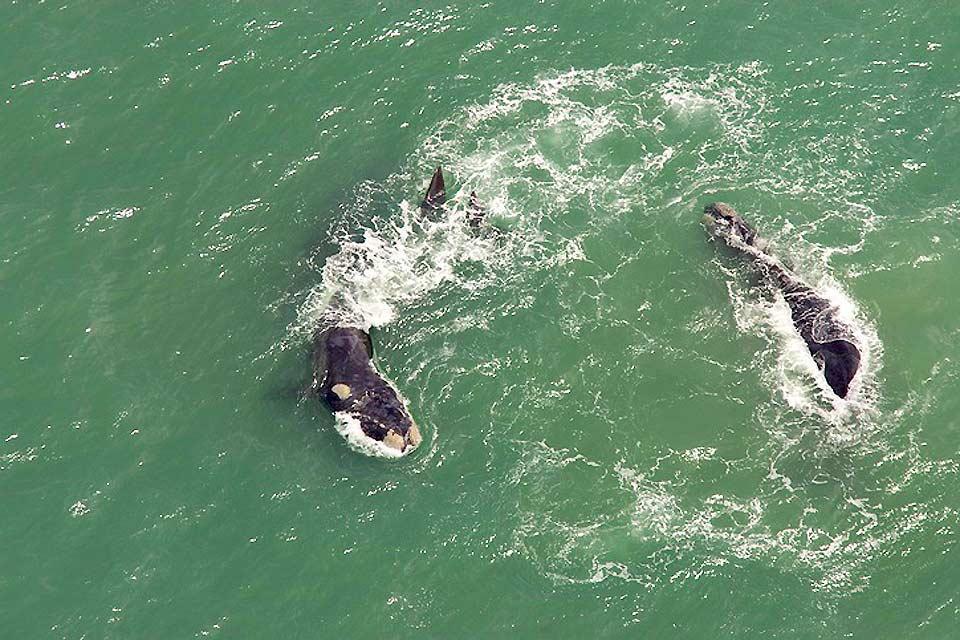 Le balene , La migrazione delle balene , Sudafrica
