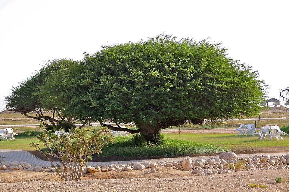 Le musée de l'encens de Salalah , Arbre à encens , Sultanat d'Oman