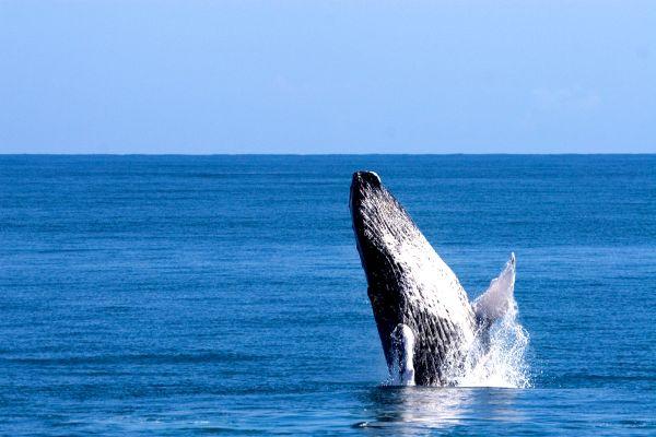 Las ballenas de la península de Samana, Les baleines de la péninsule de Samana., Fauna y flora, República Dominicana