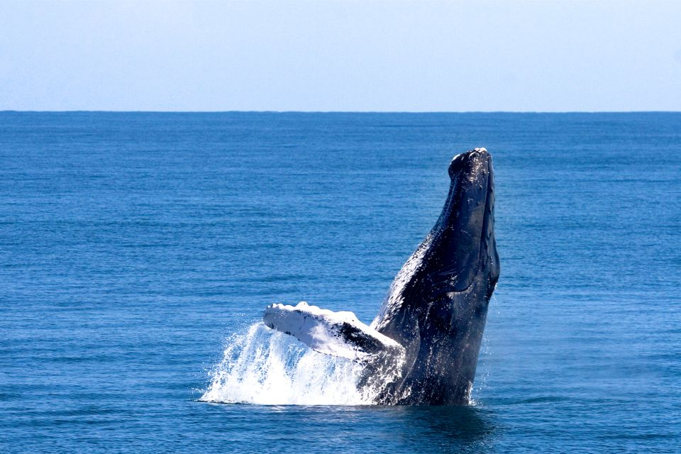 Humpback whales putting on a show, The whales of the Samana peninsula, The fauna and flora, Dominican Republic