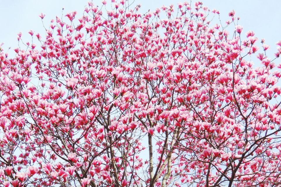 La faune et la flore, bhoutan, asie, flore, végétation, plante, nature: fleur, magnolia