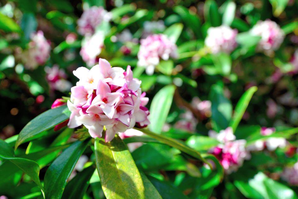 La faune et la flore, bhoutan, asie, flore, végétation, plante, nature, daphné, fleur
