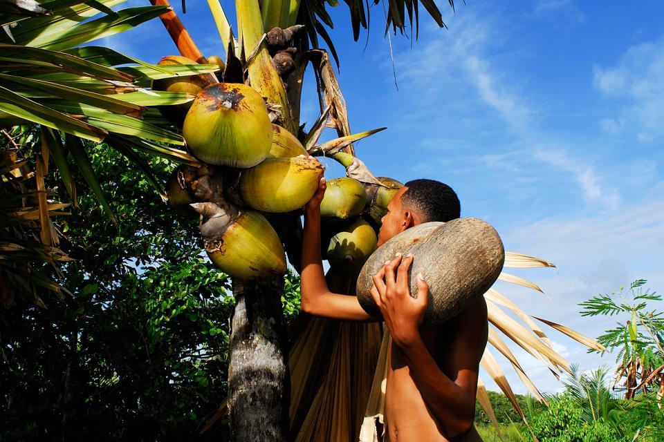 Le Coco de mer , La récolte de coco fesse , Seychelles
