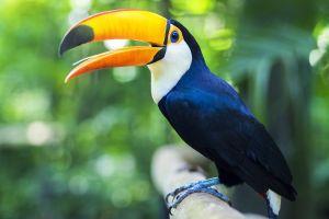 Les parcs et les réserves, europe, guyane, france, animal, faune, nouragues, oiseau, toucan