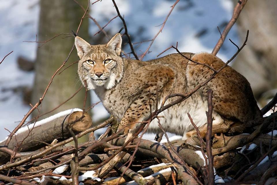 Die Fauna , Ein Luchs , Weißrussland