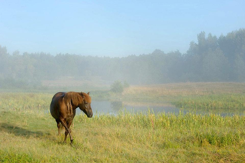 Die Fauna , Ein Pferd , Weißrussland