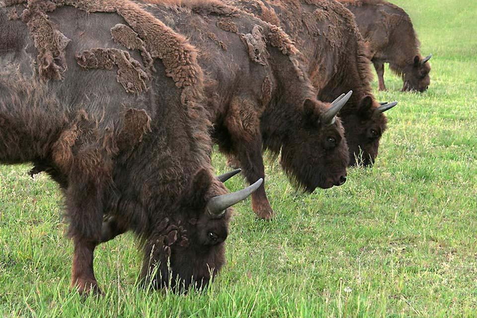 Die Fauna , Büffel in Weißrussland , Weißrussland
