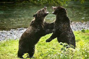 Brown bears , Spain