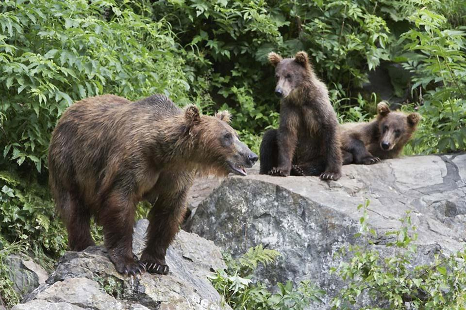 Brown bears , Spain