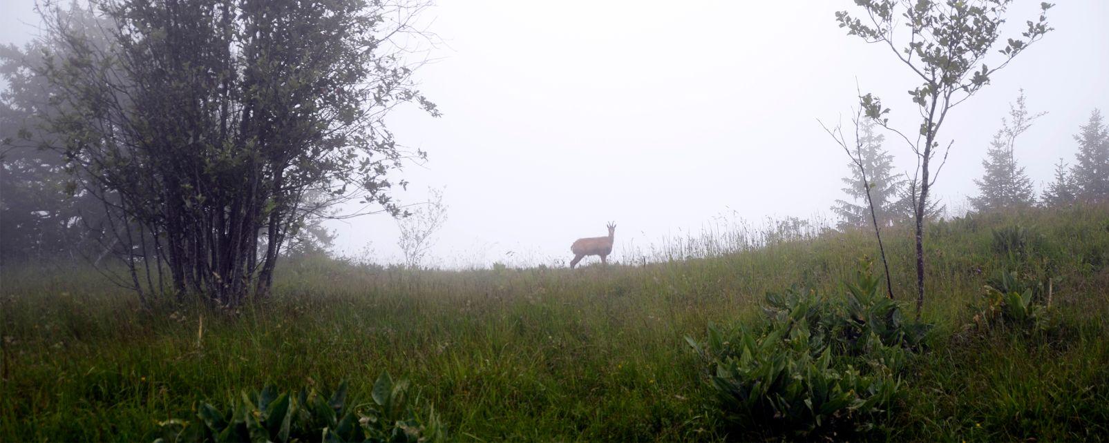 La faune et la flore, chamois, ibex, oscos, espagne, asturies, europe, mammifèer, animal, faune, caprin