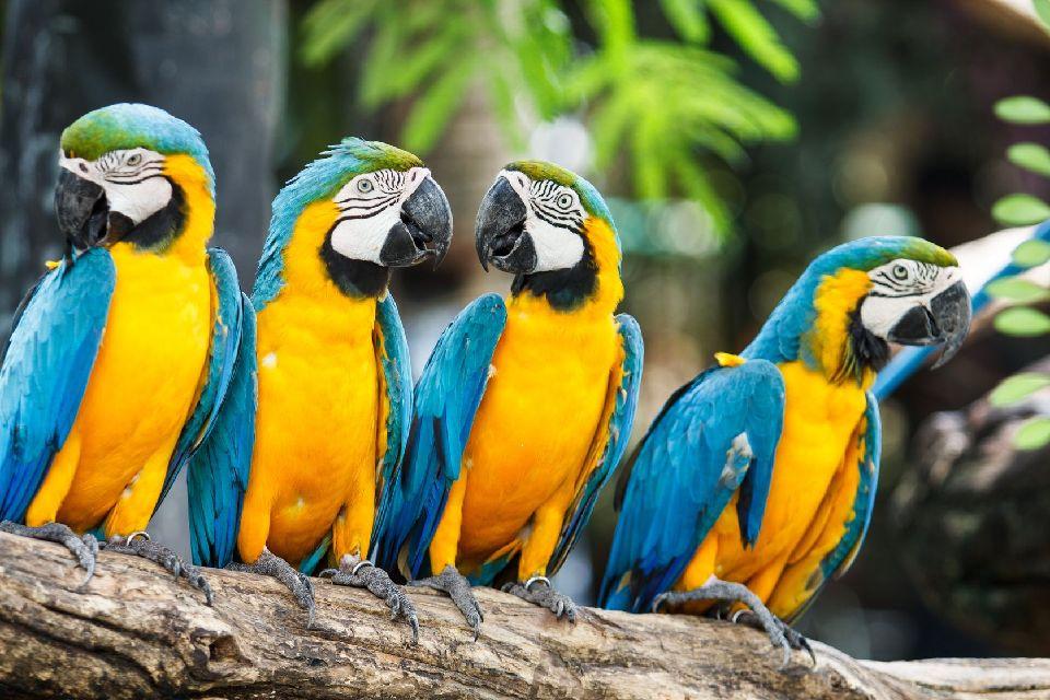 Le parc amazonien de Kempff , Perroquet , Bolivie